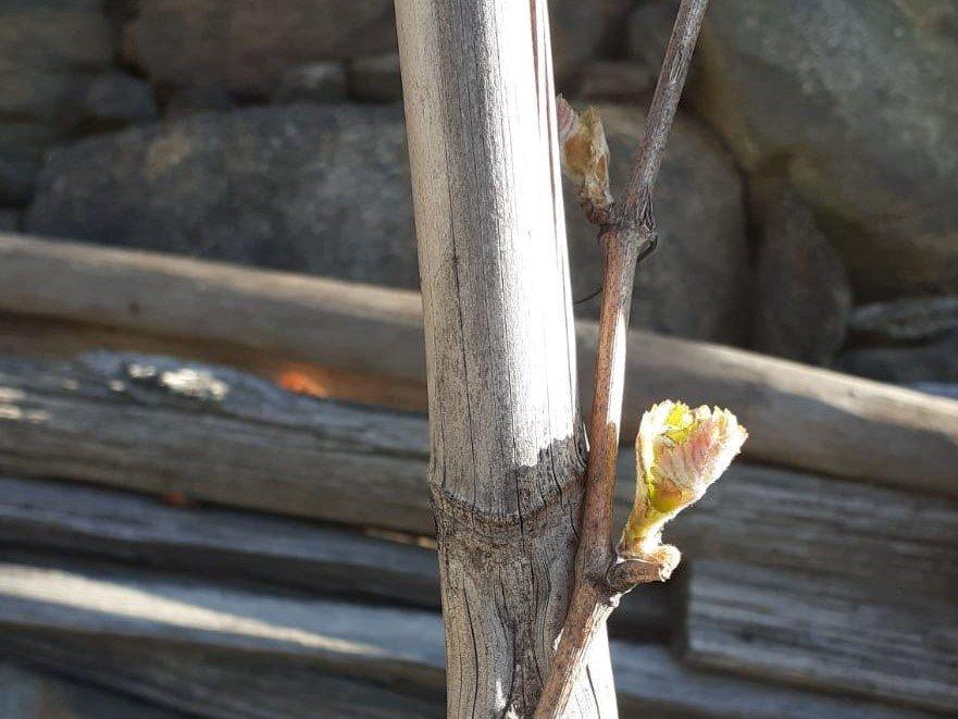 Piemonte, prime foglie sul Nebbiolo