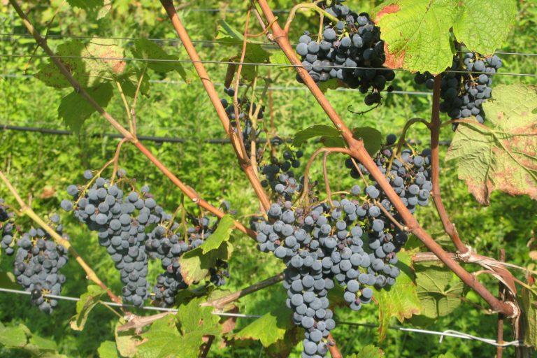 Quattro nuovi vitigni tolleranti alle malattie, dalla Fondazione Mach