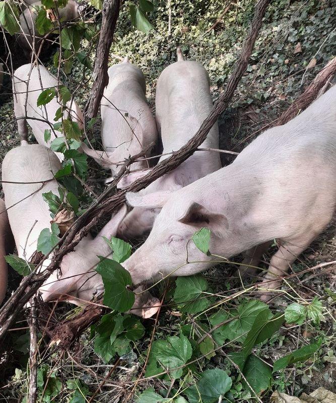 Combattere la Flavescenza dorata coi maiali