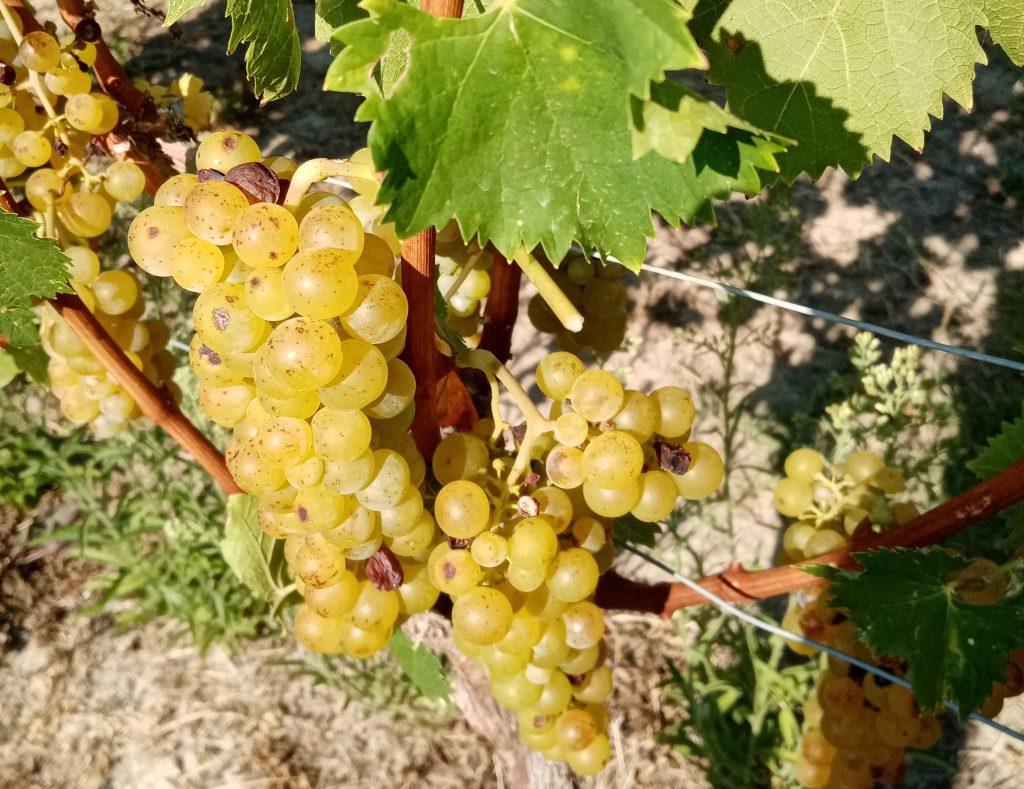 Vendemmia Moscato 2021 in Piemonte: irripetibile